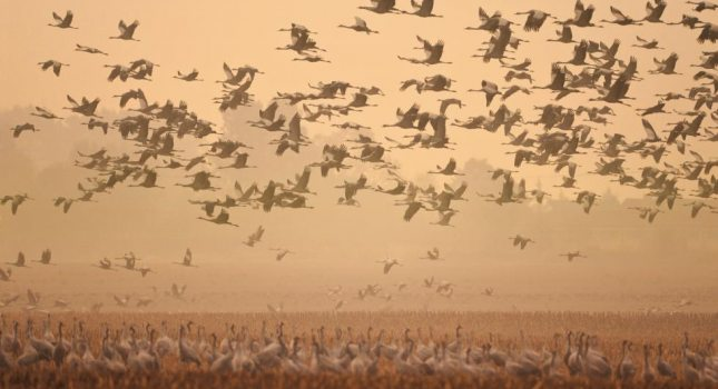 Overwhelming multitudes of cranes populate the meadows and skies around Fischland-Darß-Zingst In the early morning haze, © TMV/Growe-Lodzig